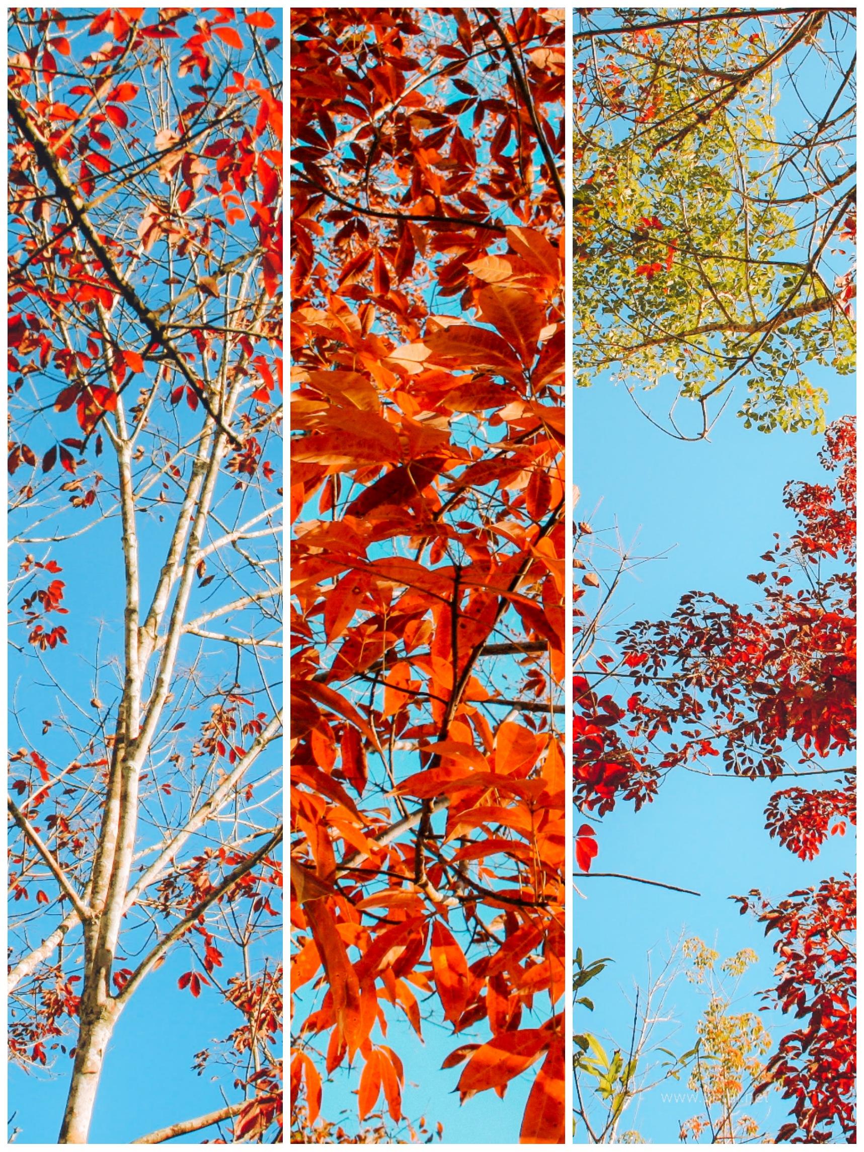 Cantiknya Pokok Getah Di Musim Luruh
