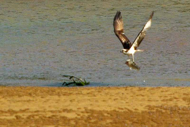 Osprey with captured fish