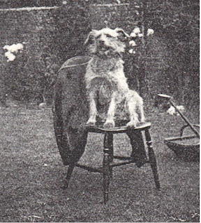 Iish terrier Mick sat on chair in garden