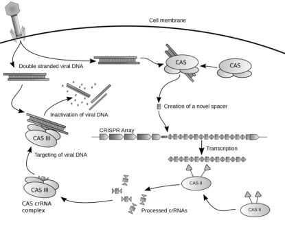 Diagram CRISPR: mekanisme pertahan virus prokariotik CRISPR