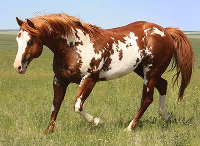hope and horses horse color genetics overo and lethal white syndrome