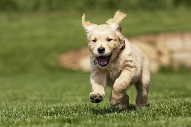 When Can Puppies Go Outside: A Guide for New Dog Owners