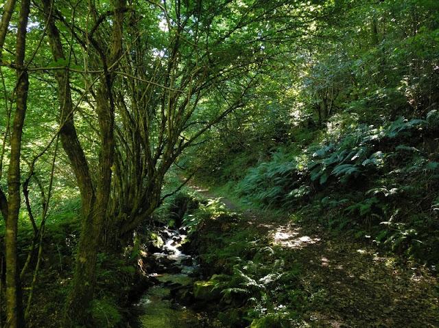Subida al Montecín siguiendo el río en medio del hayedo