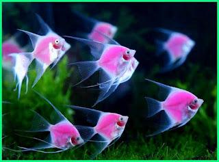 Mengenal Ikan Manfish  (Pterophyllum scalare), Bidadarinya Air Tawar