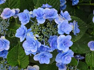 ガクアジサイの花のアップ写真