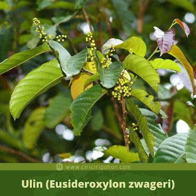 Ulin (Eusideroxylon zwageri)