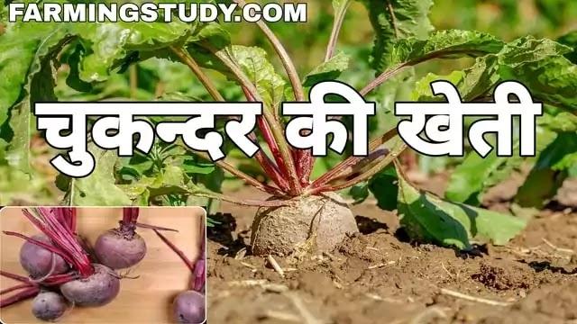 चुकन्दर की उन्नत खेती कैसे करें   chukandar ki kheti   beetroot in hindi, चुकंदर की खेती, चुकन्दर की फसल, चुकन्दर के लाभ, beet in hindi, चुकंदर का बीज