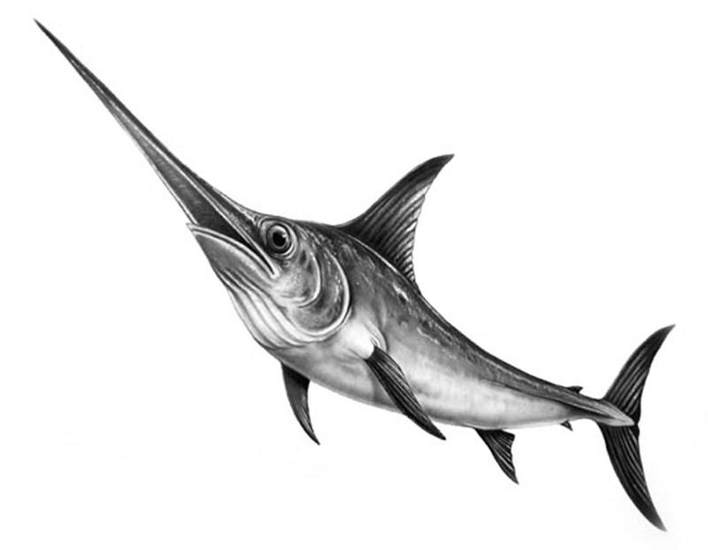 Los de abajo a la izquierda for Curiosidades del pez espada