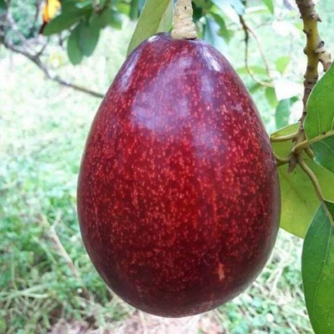 Bisa Beli Ecer! bibit tananam buah alpukat red vietnam unggul super murah Kota Bogor #bibit