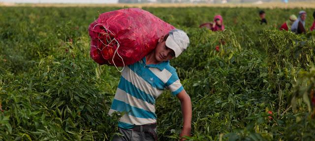 Un niño turco trabajando en el campo. El 70% del trabajo infantil ocurre en la agricultura. © UNICEF/Kamuran Feyizoglu