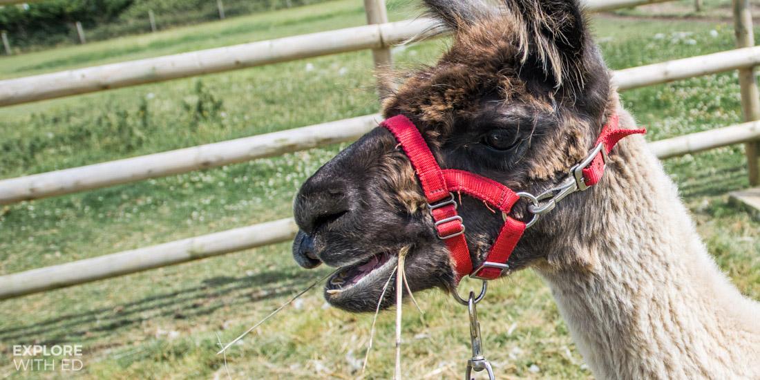 Isle of Wight Alpaca Farm