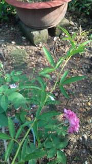 cây hoa hồng leo mân côi