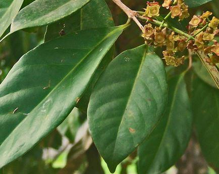 33 Manfaat daun salam untuk penyembuhan penyakit dan perawatan kesehatan dari dalam