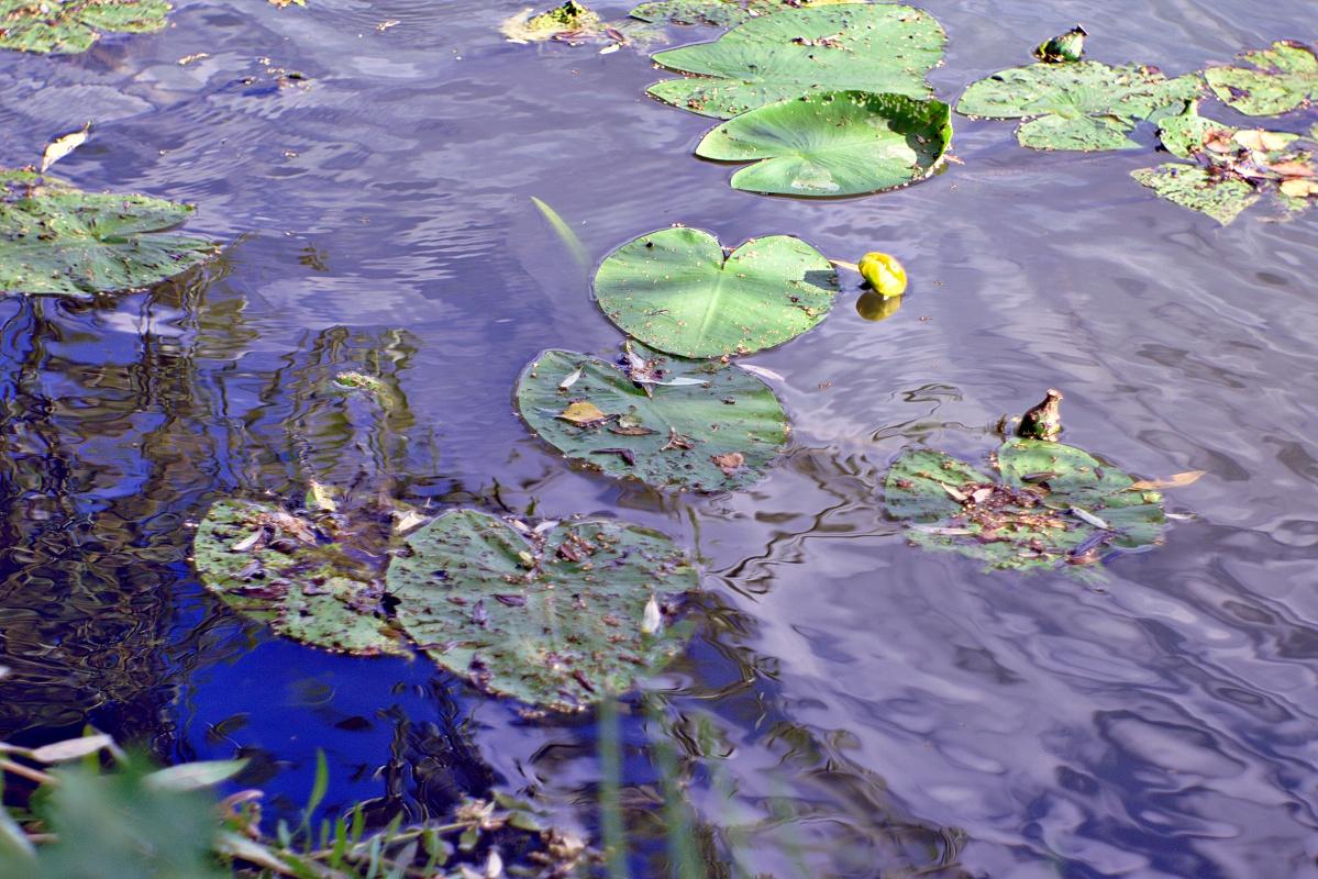 Seerosen in natürlicher Umgebung (3)