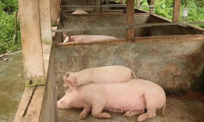 Cara ternak babi biar cepat besar