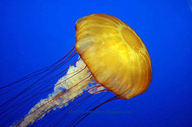 One of the most beautiful Jellyfish