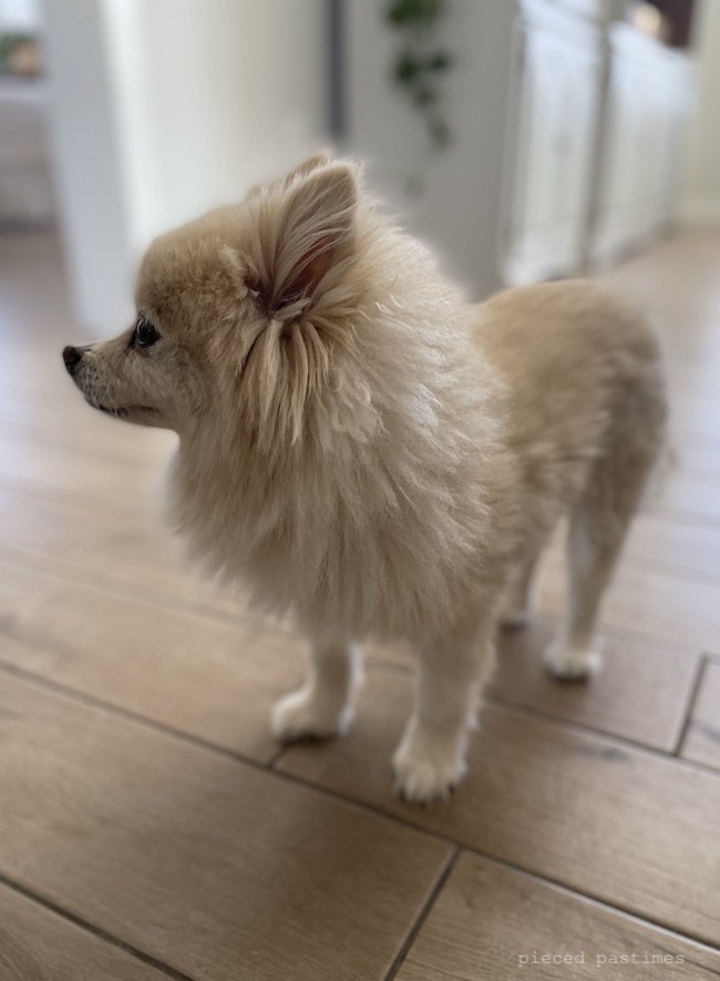 Our sweet pomeranian, Sophie at Pieced Pastimes