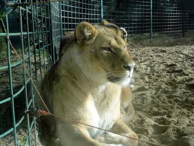 zoo palmyre charente maritime lionne