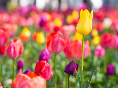 Tulips Meaning | Tulip Meaning And History - Tree homes