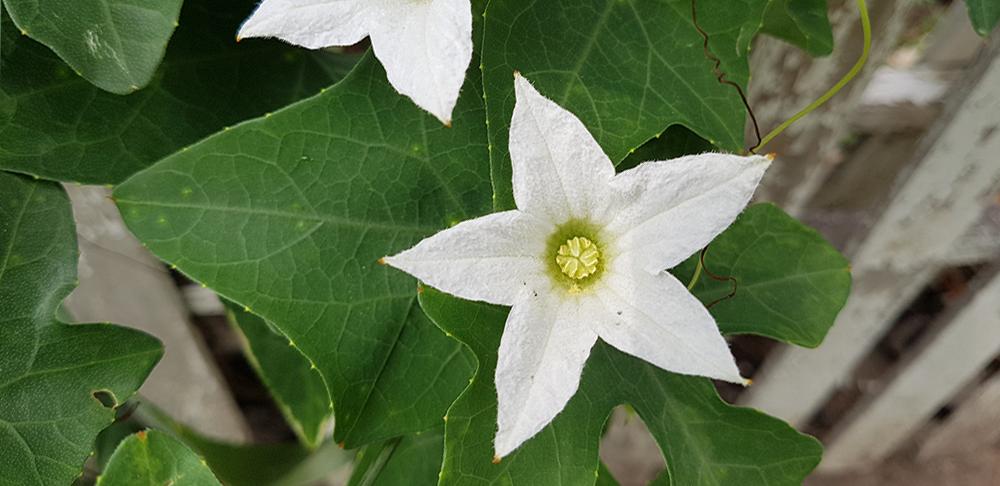 ดอกของต้นตำลึง