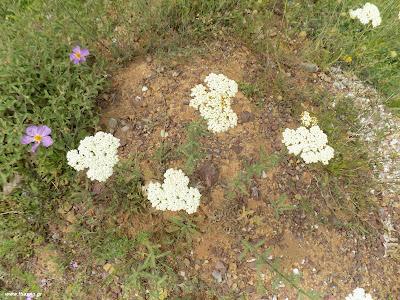 Μάιος-Αχιλλεία: Βότανα και φαρμακευτικά φυτά της Ελλάδας