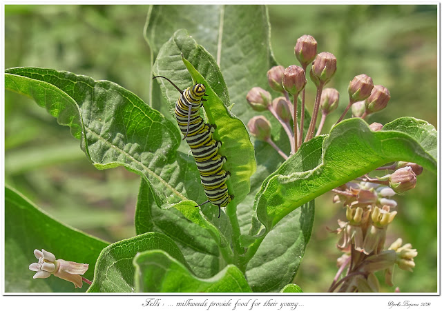 Fells: ... milkweeds provide food for their young...