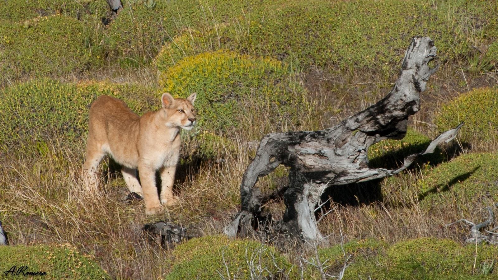 Los cachorros, con un pelaje moteado al nacer que van perdiendo con la edad, permanecen junto a la madre cerca de dos años aprendiendo y colaborando en la caza de presas para la unidad familiar antes de independizarse y vivir una vida solitaria. Parque Nacional Torres del Paine, Chile.