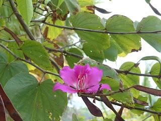 Arbre à orchidées - Bauhinia variegata