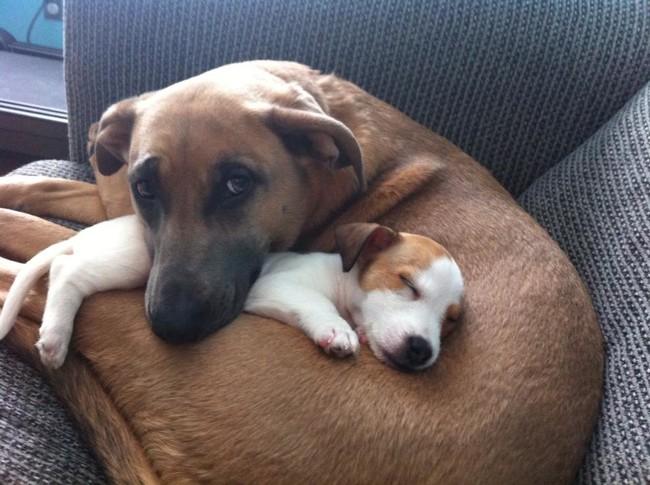 Belgian-Malinois-cuddling-a-puppy