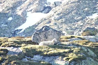 """""""Seht das Lamm auf dem Thron"""" Schaf nahe Wildkar"""
