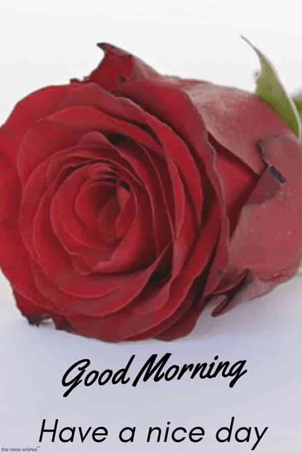 best good morning images for pinterest white red rose have a nice day