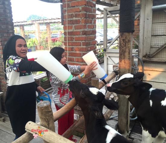 alan jalan ke lactasari farm Bandung Paris van java Bandung,wisata memberi minum susu kambing sapi di Bandung,wisata untuk anak anak di Bandung,wisata baru di bandung untuk anak family,lactasari farm bandung review,