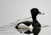 Ring-necked Duck at Old Rainbow vally Pond, PEI – photo by Roberta Palmer