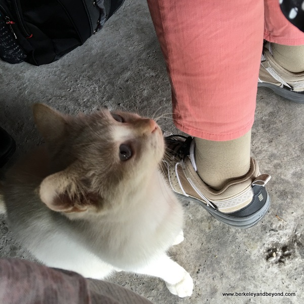 cat at Dageeli Tribe House Restaurant in Hualien, Taiwan