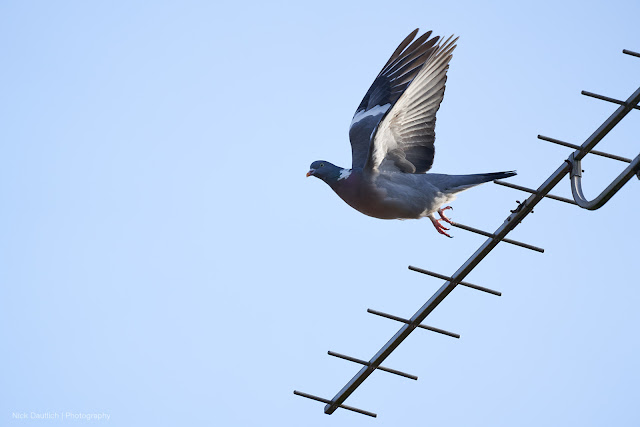 Pigeon launching off TV ariel at 400mm