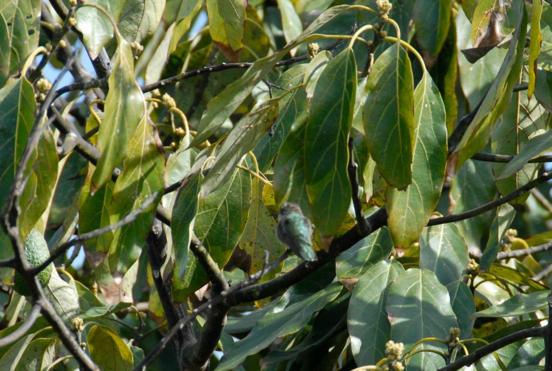 hummingbird resting on avocado branch