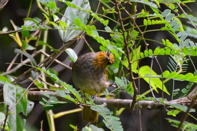 Pycnonotus finlaysoni