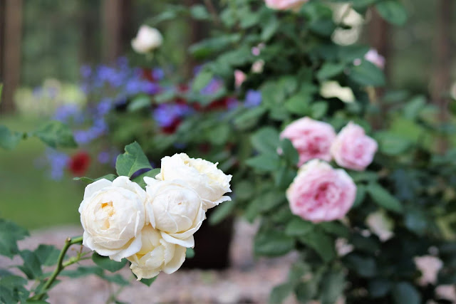 pink, white, roses, cottage, garden, gardening, athomewithjemma