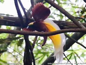 Lesser Bird of Paradise (Paradisaea minor) in West Papua of Indonesia