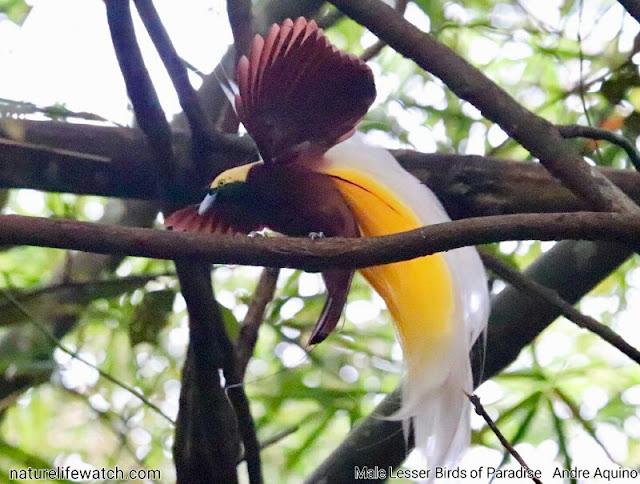 Burung Cendrawasih Kuning