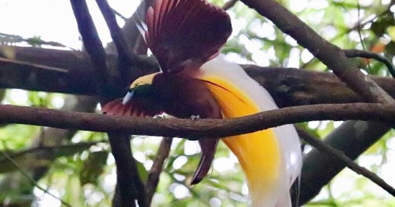 Cendrawasih Kuning Kecil Wildlife And Naturelife Watch
