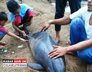 Ikan Lumba-lumba terdampar
