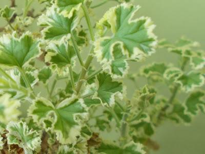 "Pelargonium crispum ""Variegatum"" - lemon scented leaves   Plants indoors for winter Green Fingered Blog"