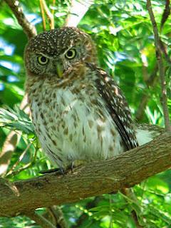 Gojekan Makanan Burung Hantu Berdasarkan Jenisnya