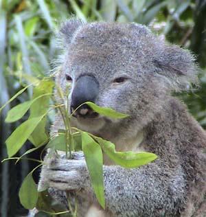 Koala, animal herbivoro