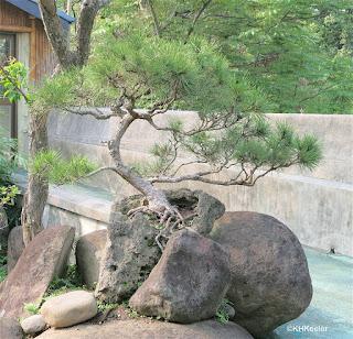 bonsai on rock, Taipei Taiwan