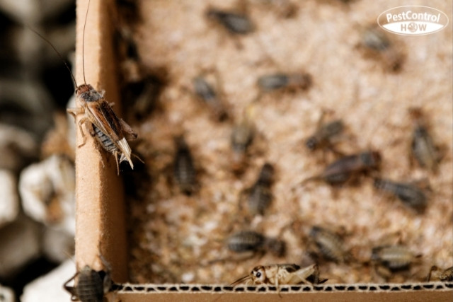 how-to-get-rid-of-crickets