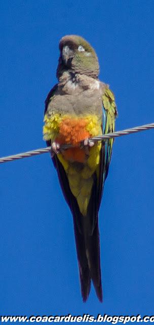 "alt=""loro barranquero,aves de Mendoza,Cyanoliseus patagonus"""