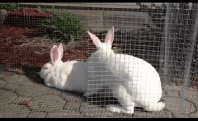 Mengawinkan Kelinci
