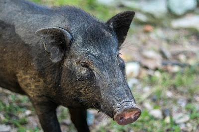 Berburu babi hutan dengan senapan api laras panjang